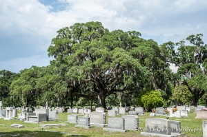 Large Oak Tree Forest Lawn Cemetery
