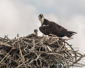 Momma Osprey and baby