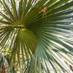 Palm tree on Ossabaw Island, Georgia