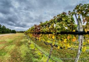 Vineyard at Williamsburg Winery